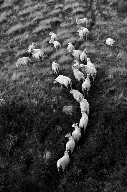 Beacons Sheep