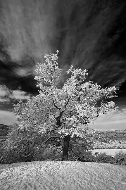 The Snowy Tree