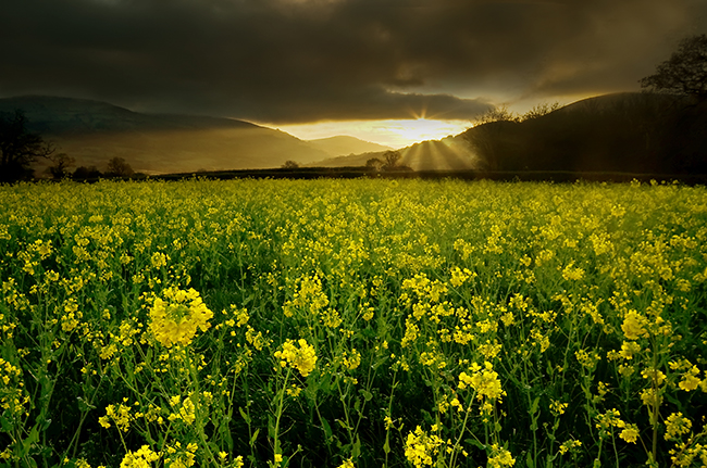 The yellow field